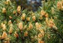 Zázračné zdravotní a duchovní účinky borového pylu