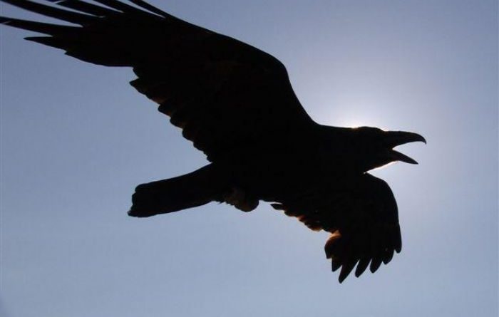 Vrány a havrani – zvířata s duchovním přesahem
