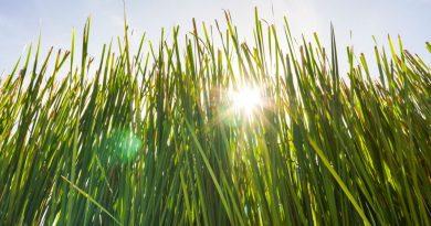 5 vědecky prokázaných účinků oleje z vousatky draslavé (včetně léčby ADHD!)