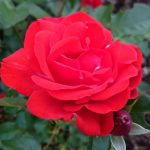 Vědomé čichání: zastavte se a přivoňte si k růžím