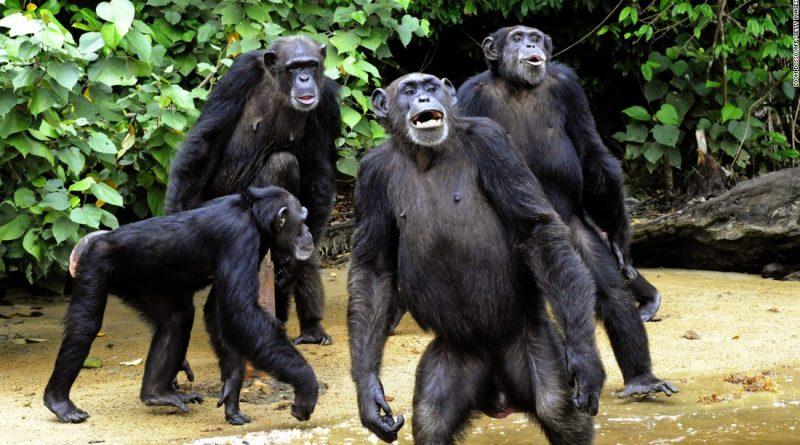 Šimpanzi provádějí bizarní rituál, možná je to projev spirituální víry