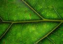 Zázrak jménem chlorofyl: chrání organismus, pomáhá vytvářet energii ze světla a zbavuje tělo zápachu