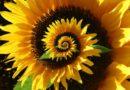Žena prý nahrála zvuk, který vydává slunečnice – je jak z jiné dimenze