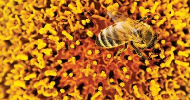 Včelí pyl je jedna z nejdokonalejších superpotravin