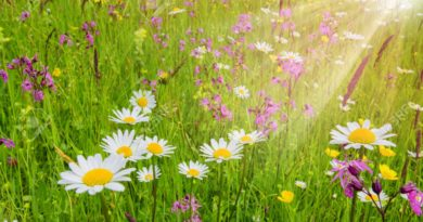 spring meadow with beautiful flowers and sun rays in background