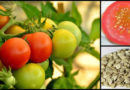 Rajčatová semínka si zaslouží pozornost, mají zajímavé účinky na zdraví