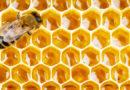 Co všechno umí včelí propolis